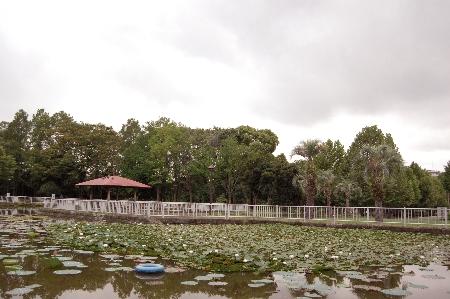 猿江公園蓮の花