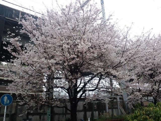 満開の桜とお引越し