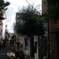 伸びきったオリーブの木