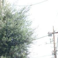 オリーブの木を伐採